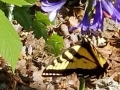 Butterfly on Lily of the Nile flowers