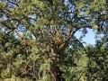 garry-oak
