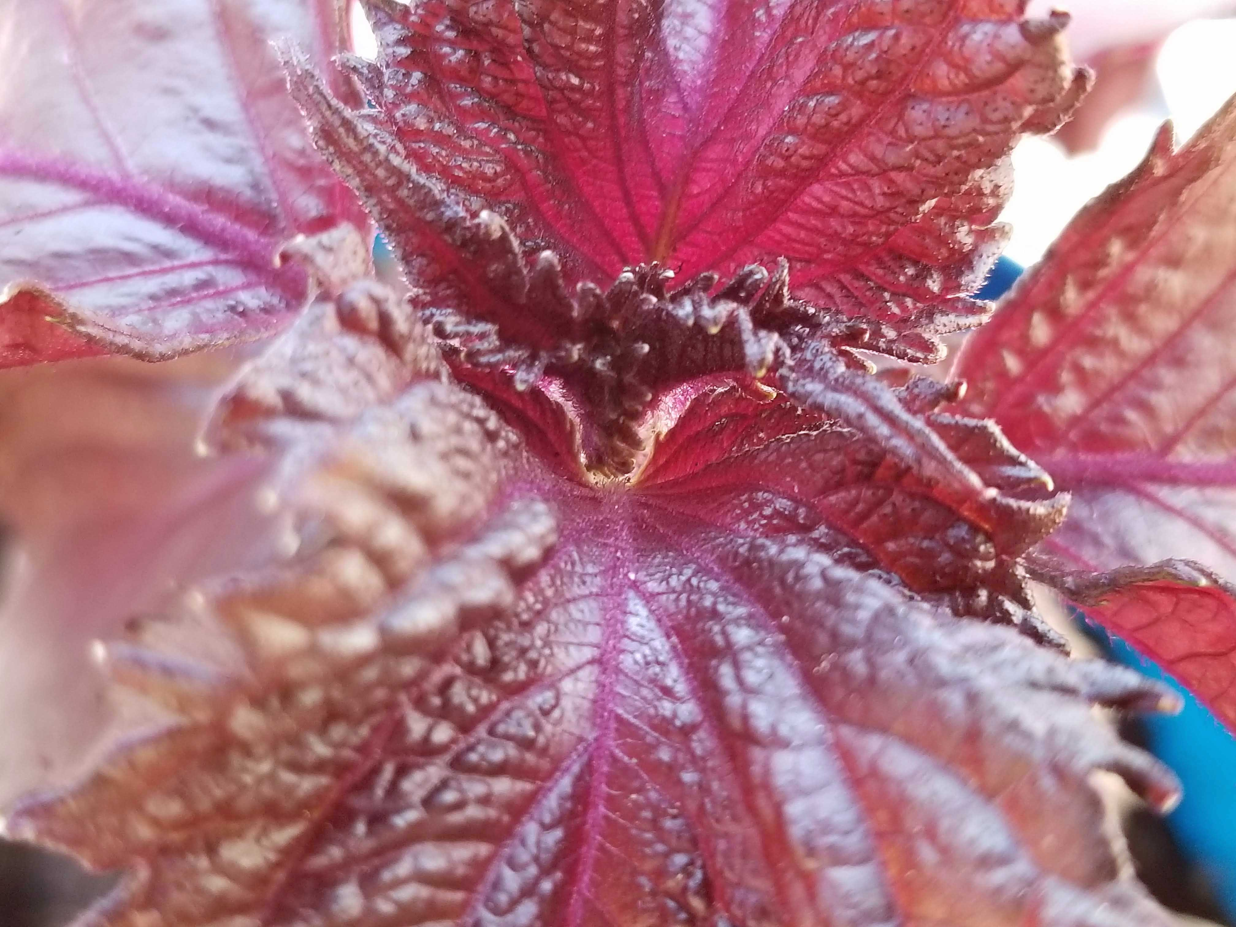 shiso-leaf-top