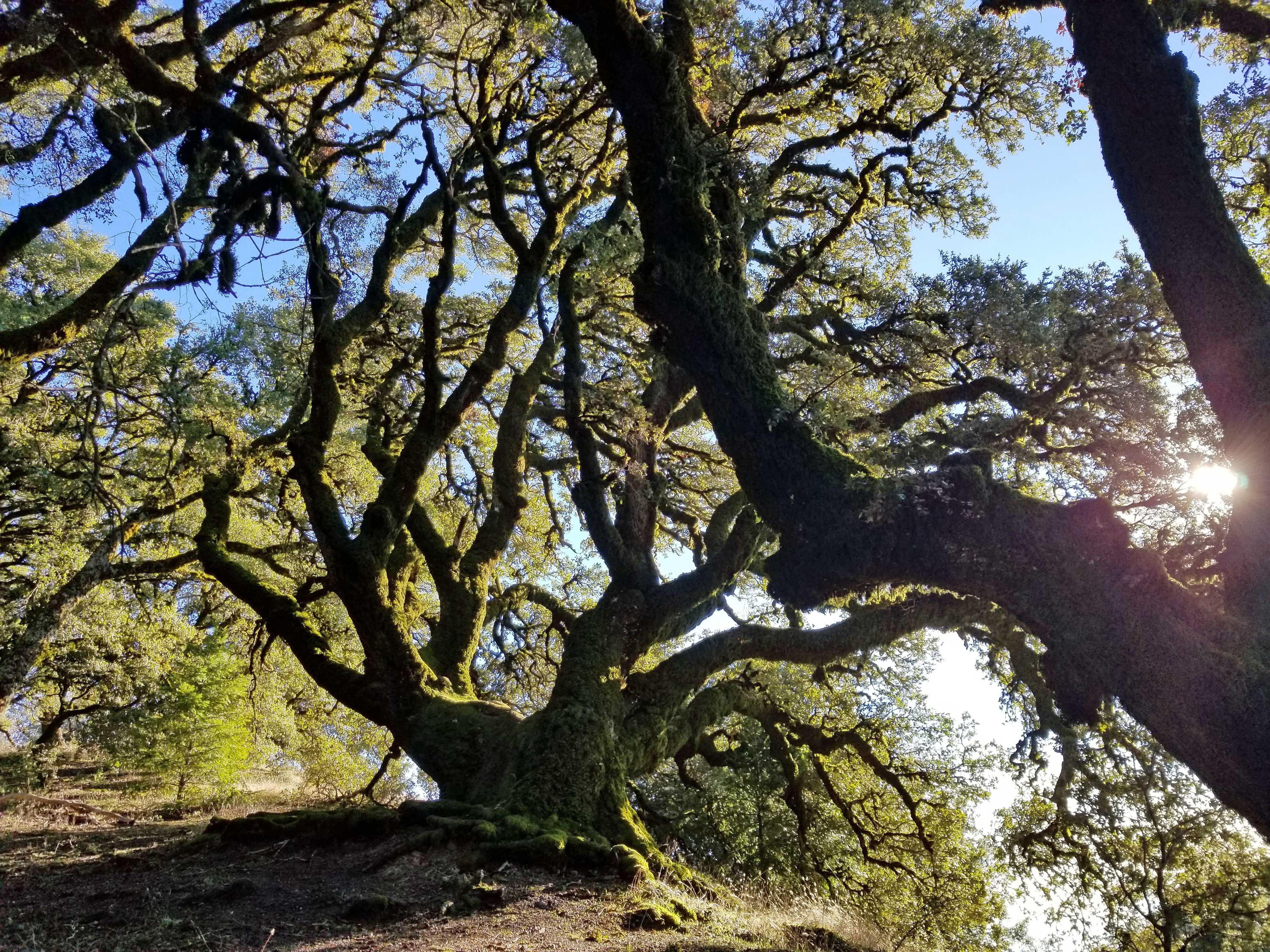 ancient-oaks