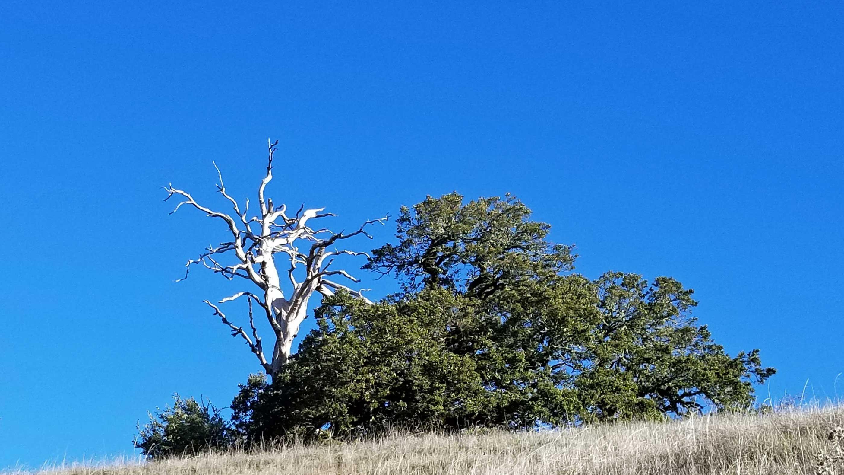 skeleton-oak