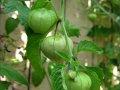 tomatillo_green