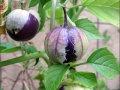 tomatillo_purple
