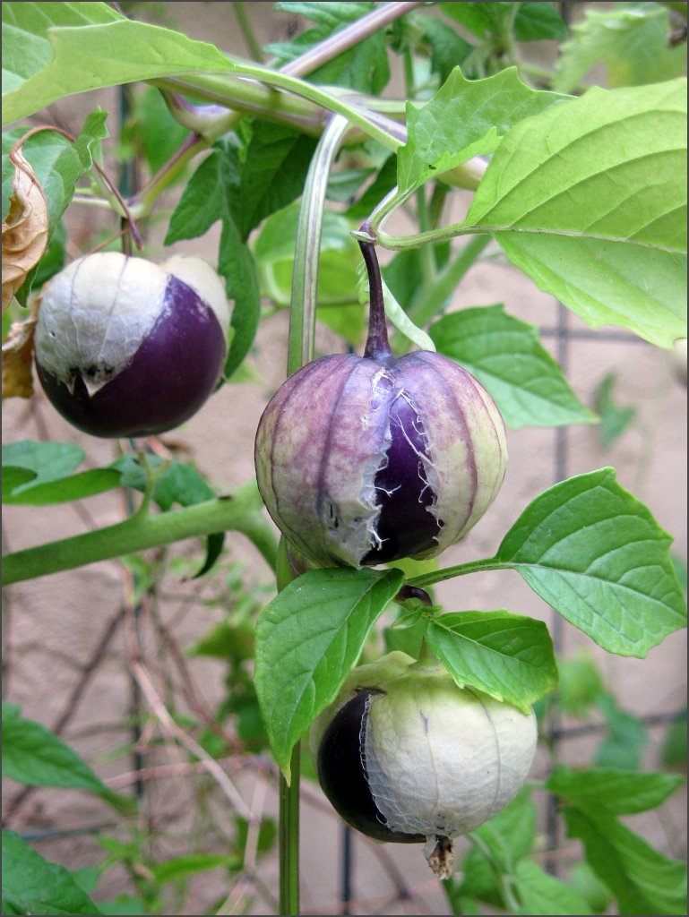 tomatillo_purple