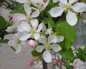Apple_gala_flower