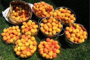 Apricot – Royal Blenheim