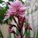 Guara – Pink Butterfly Bush