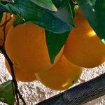 washington navel oranges in december
