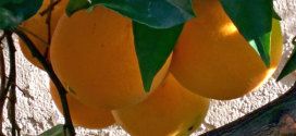 washington navel oranges in december