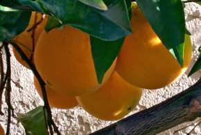 Orange – Washington Navel