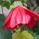 Abutilon – Lucky Lantern Red