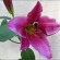 Lily – Asiatic