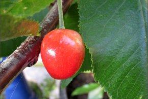 Cherry – Lapins