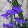 Salvia – Blue Hills