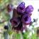 Cerinthe – Blue Honeywort