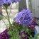 Blue Thimble Flower