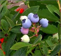 Acidify Your Soil for Blueberries