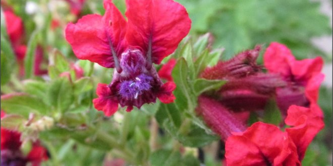 Cuphea – Flamenco Red