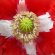 Poppy – Danish Flag