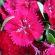 Dianthus