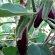 Eggplant – Pingtung Long