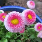 english_daisies