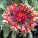 Blanket Flower – Fanfare Blaze