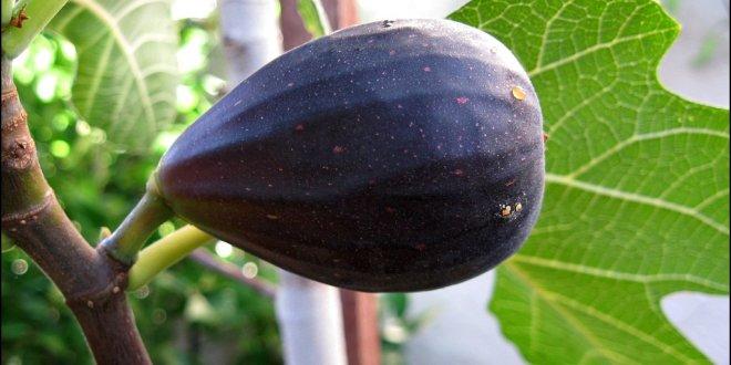 Fig – Black Mission
