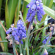 Muscari – Grape Hyacinth