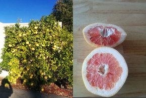 Grapefruit – Oro Blanco