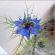 Love-in-the-mist – Nigella Hispanica