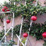 pomegranates_10x8