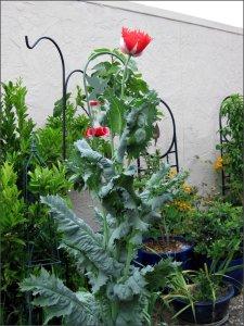 redpoppyplant