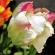 Tulip – Ruffled