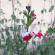 Salvia – Hot Lips