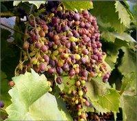 Grapes – Thompson Seedless