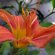 Day Lily – Tiger