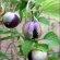 Tomatillo – Purple