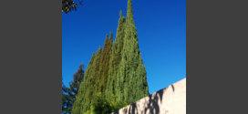 italian cypress trees