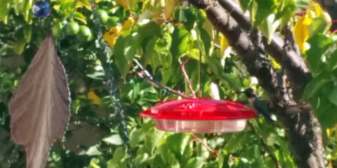 disk-shaped hummingbird feeder
