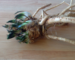 The 2015 Horseradish harvest