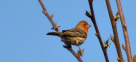 rose house finch