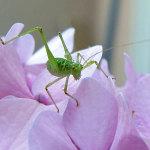 leafhopper on hydrangea