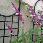 salvia_leucanthus