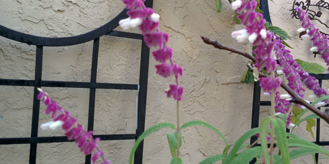 Salvia leucanthus – Mexican bush sage