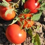 tomato_costa_rica