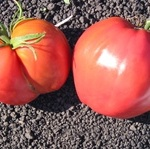 tomato_lithuanian-crested_pink