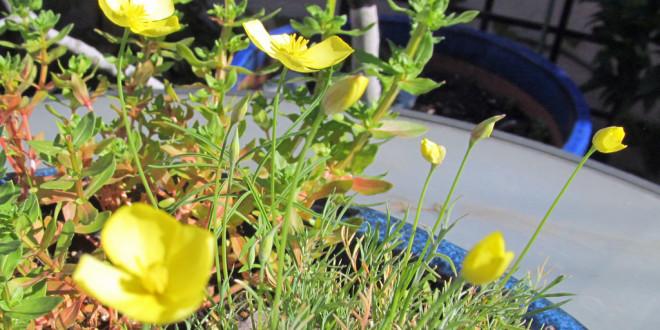 Eschscholzia caespitosa – Tufted Cal Poppy