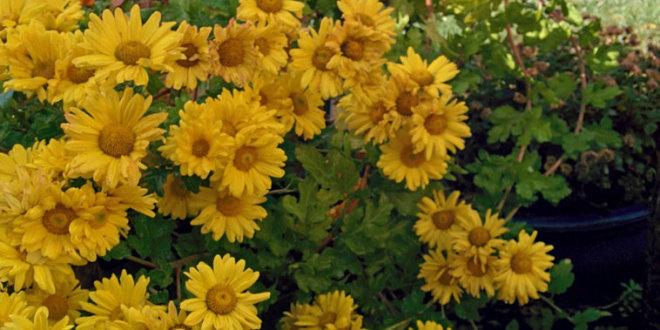 Mums – Yellow