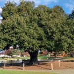 heritage coast live oak near senior center